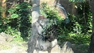 20081022上野動物園-值班猩猩
