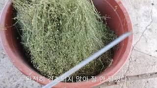 냉이 씨앗 채종 방법