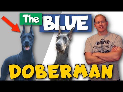 the-blue-doberman:-health,-price,-footage,-and-more