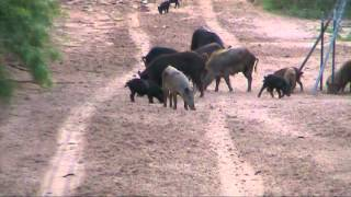 Texas feral hog hunting 2 by Kevin Dooley DVM