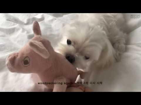 베포티비bepotv_5 Maltese Dog Playing Tug Of War Pink Pig Vlog New York 말티즈 강아지 핑크포 돼지 인형 터글 브이로그 뉴욕