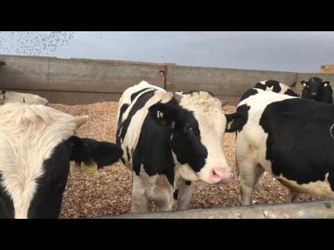 Byproduct dairy calf to beef in the UK