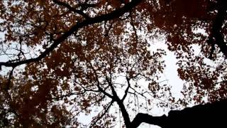 1106 Upward view of the tall maple trees autumn park cinematic