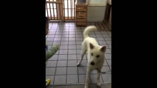 紀州犬 も 訓練 を すれば ‼   とっても 従順 で 利口 ですから 素晴ら...