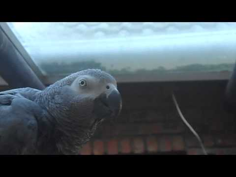 Hickory Dickory Dock by Boeta the African Grey !!