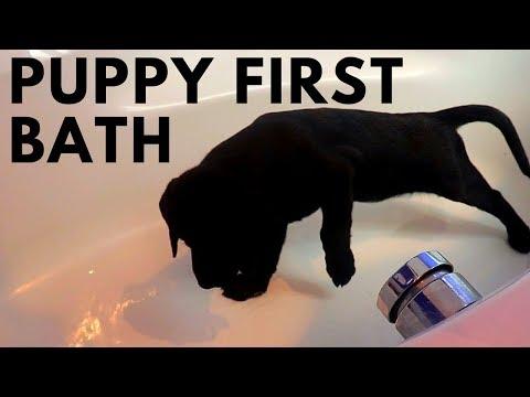 Labrador Retriever Puppy First Bath + 3 Tips for Bathing Puppy