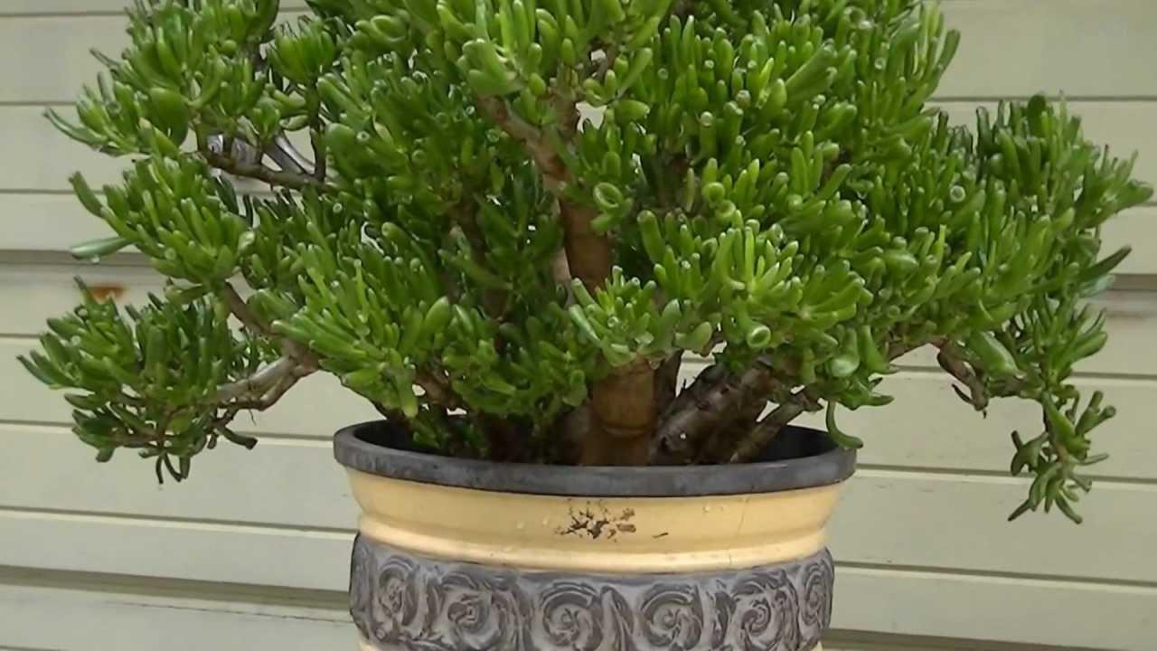 Crassula Ovata (Gollum) YouTube ~ 01154216_Sukkulenten Crassula Ovata Gollum