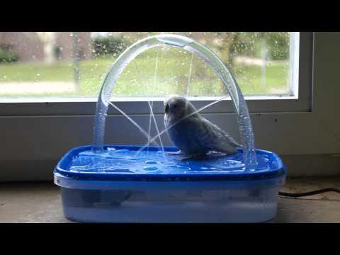 Wellensittiche beim Baden/Duschen