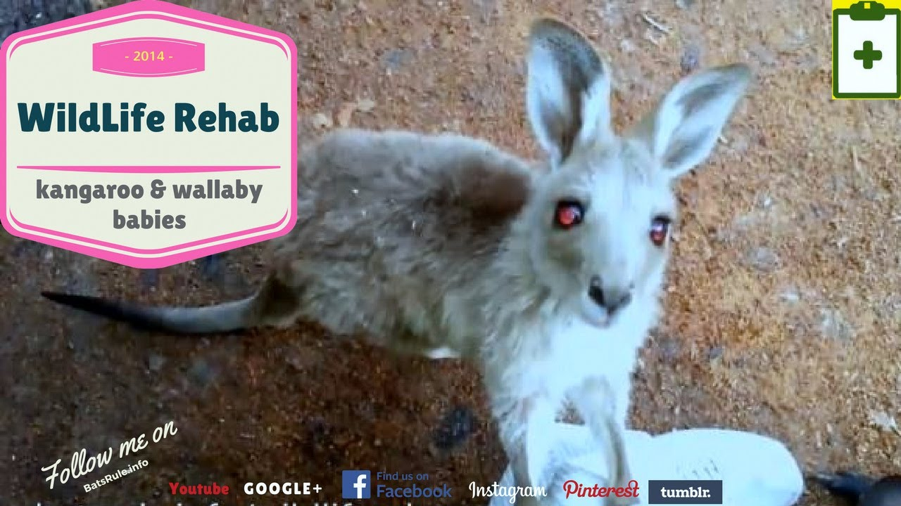 Rehab | Kangaroo and Wallaby in care
