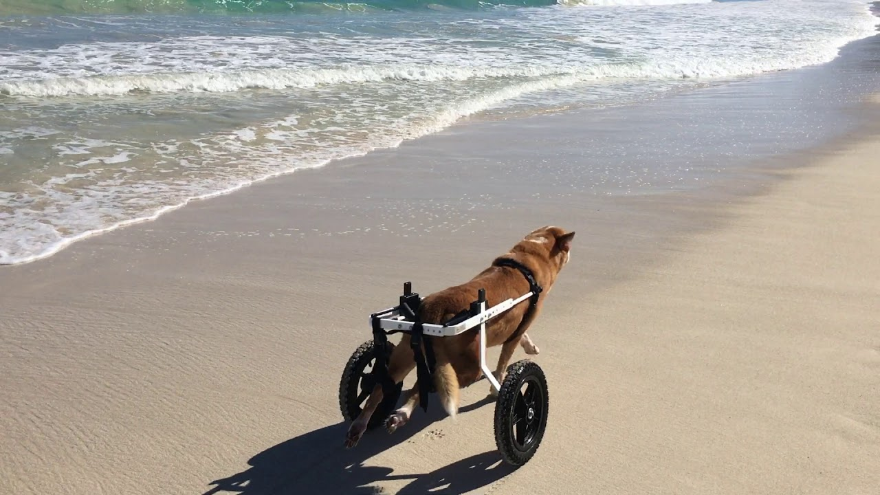 The Original Dog Wheelchair   Wheelchairs for Your Pet by K9 Carts