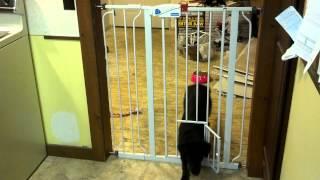 Carlson 0941pw Extra-tall Walk-thru Gate With Pet Door Fail!