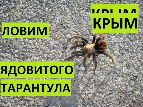 КРЫМ. Ядовитый тарантул. Ловим!!!