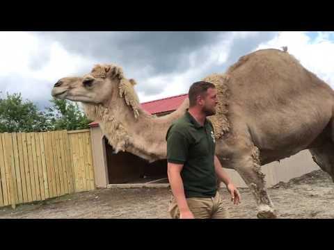 Animal Adventures with Jordan: Dromedary Camels