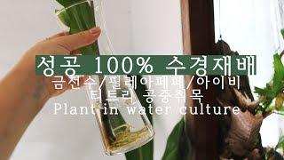 수경재배 100% 성공하는 실내식물 / 아이비, 금전수…