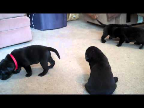 Black Lab Butters Puppies Illinois Born March 25, 2011  (3 weeks old)