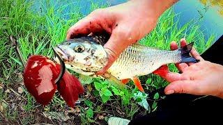 Риболовля на курячу печінку! Головень, Густера