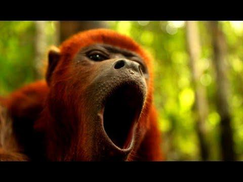 Как кричит обезьяна