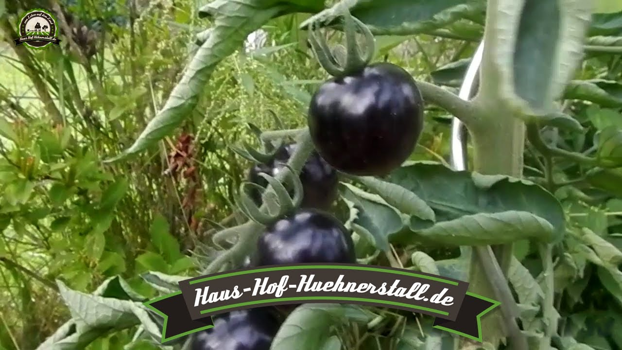 tomatenvielfalt im garten schwarze braune gelbe und gestreifte tomaten youtube. Black Bedroom Furniture Sets. Home Design Ideas