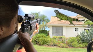 How to Hunt Iguanas off House Roofs with Air Rifles and Ladders!