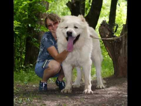 Caucasian shepherd puppy white