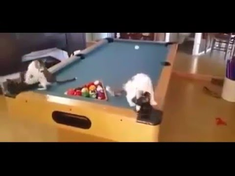 Cats playing on Pool Table - Expensive Cat Toy - funny
