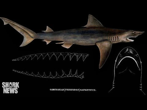 The Ganges River Shark Is Unextinct | Shark News