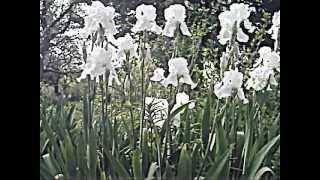 Relaxation Video Irises