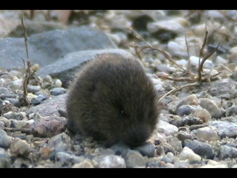 Meadow Vole - Saco Factory Island (Maine) - YouTube