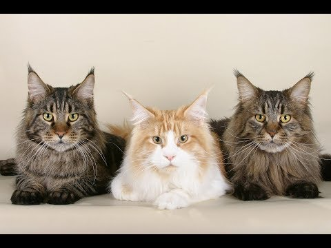 MAINE COON - most revered and best loved gentle giants in the cat world