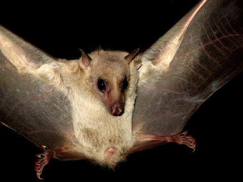 Egyptian fruit bat (Rousettus aegyptiacus) (Geoffroy, 1810) Νυχτοπάππαρος - Φρουτονυχτερίδα - Cyprus