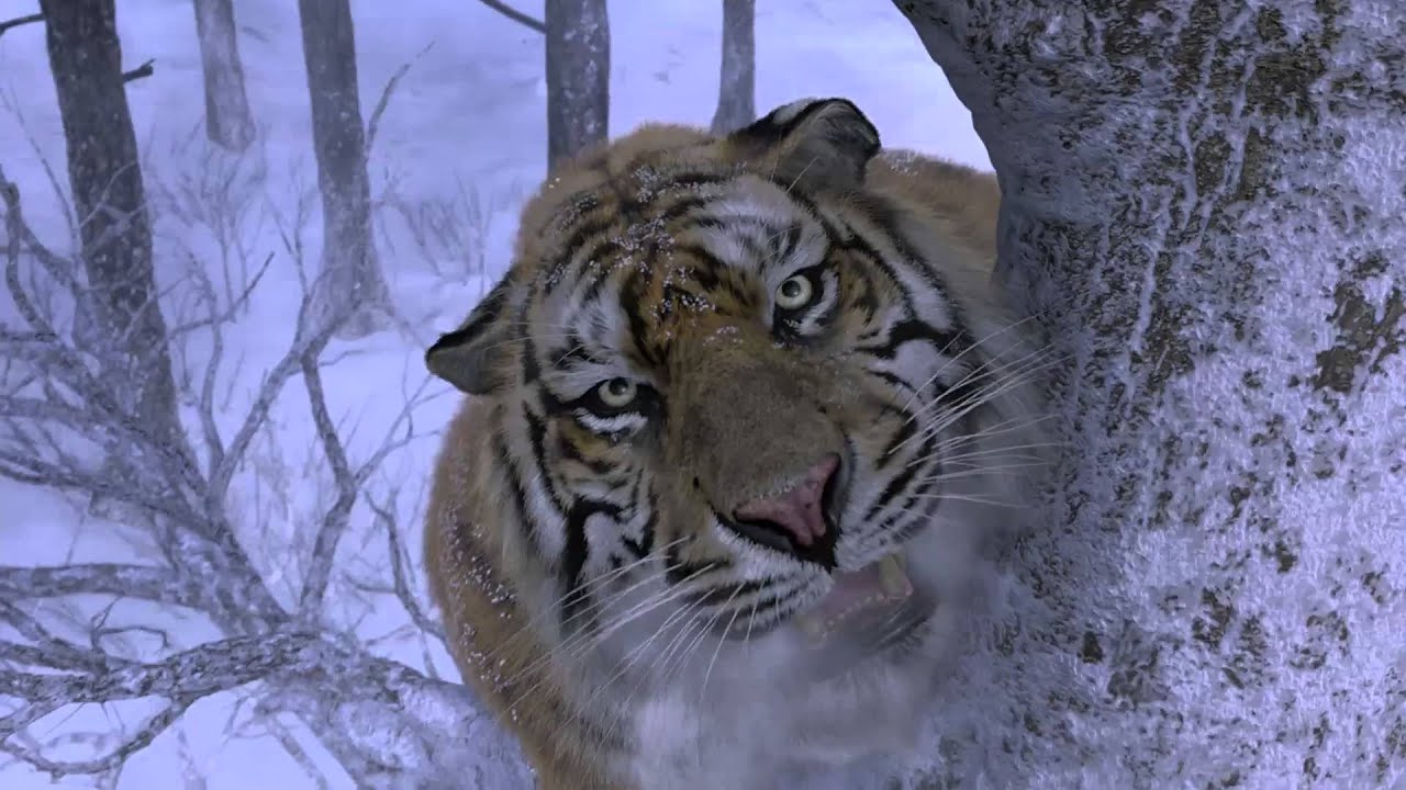 tiger attack scene (hd) *see description - youtube