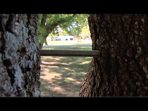 Cabling And Bracing Trees Youtube