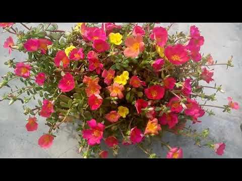 63 - How to collect Purslane seeds/kukfa /कुलफा ka seed collect karna sikhen (Hindi /Urdu)