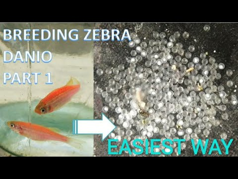How To Breed ZEBRA DANIO Fish   (Part 1)   FISH BREEDING   ZEBRA DANIO   ZEBRA FISH
