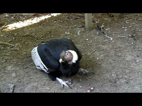 How many gizzards can my pet Andean condor eat? Place your b