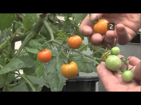 How To Harvest Tomatoes You