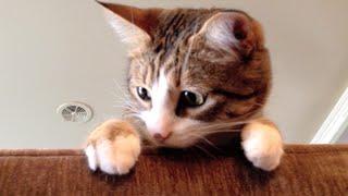 Adele - Hello Cat Parody