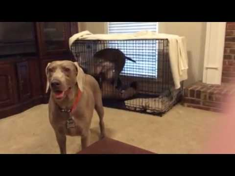 Porter, my Weimaraner's crazy barking