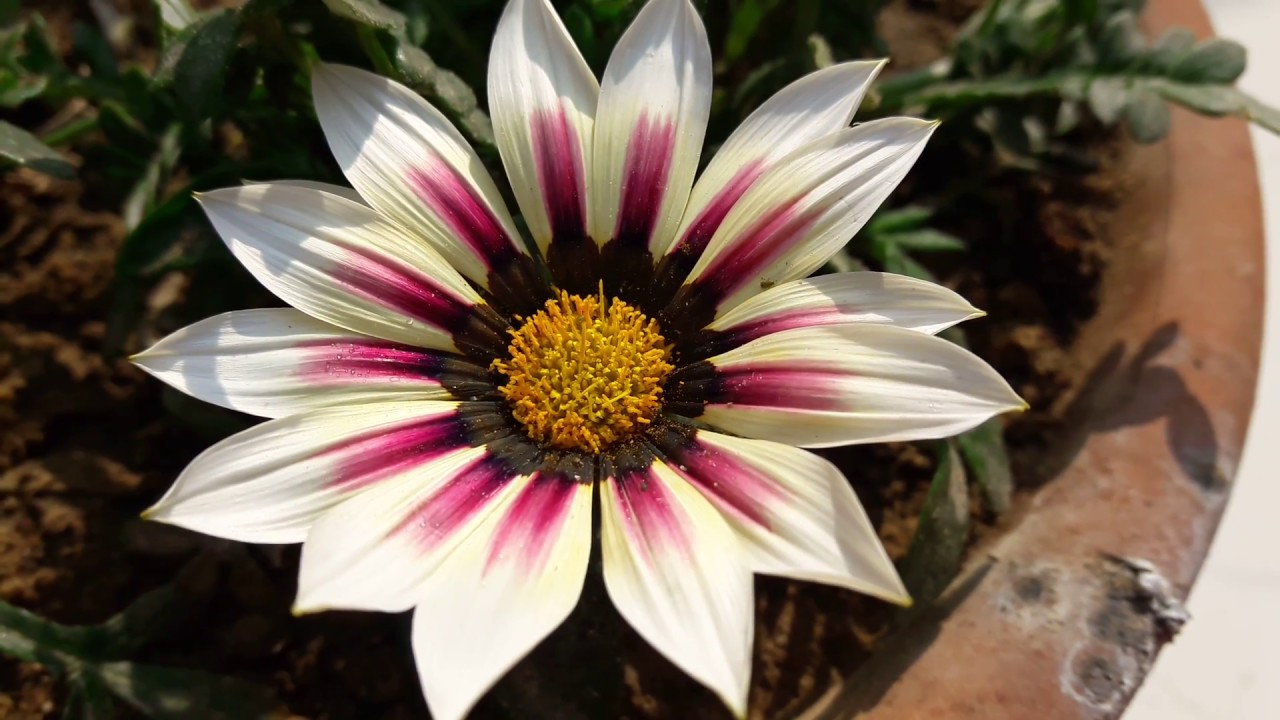 Gatsania flower: photo, description, growing from seed, planting and care in open ground 28