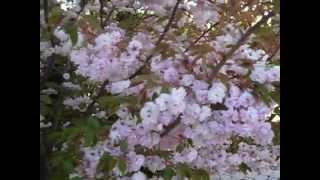 Чудо! Цветущая сакура.(Зацвела сакура пышными цветами, в дальней мне, японской стороне. В розовом наряде, кружится с мечтами, ..., 2013-04-20T21:34:33.000Z)
