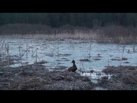 Звуки весенней охоты. Подсадные утки А.Лохматова. Часть 1.