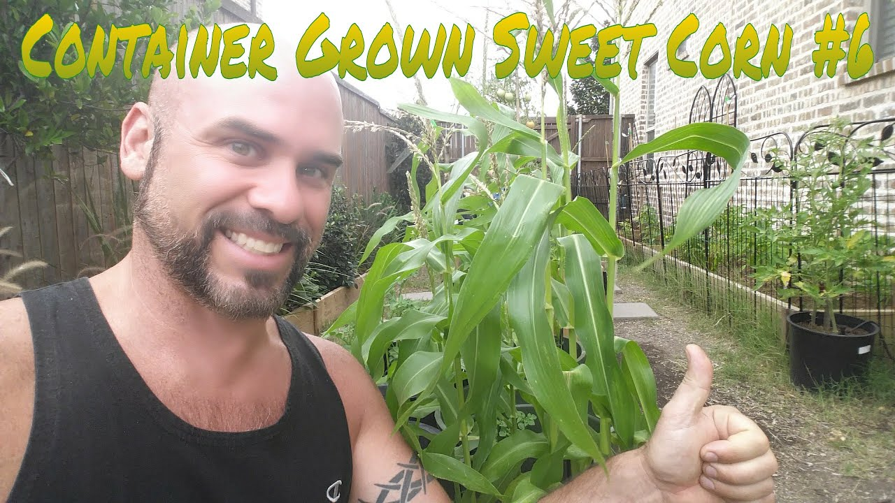Growing Sweet Corn In Containers Episode 6