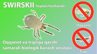 Swirskii - oqqanot va tripsga qarshi samarali biologik kurash vositasidir.