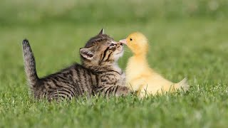 Funny Kittens and Birds Cats Playing with Birds Compilation