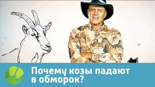 Почему козы падают в обморок? Живая планета отвечает