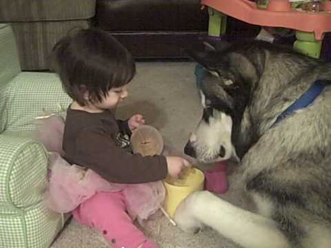 baby and giant alaskan malamute dog