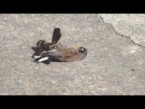 How Two Birds Are Fighting Or M In My Drive Way?