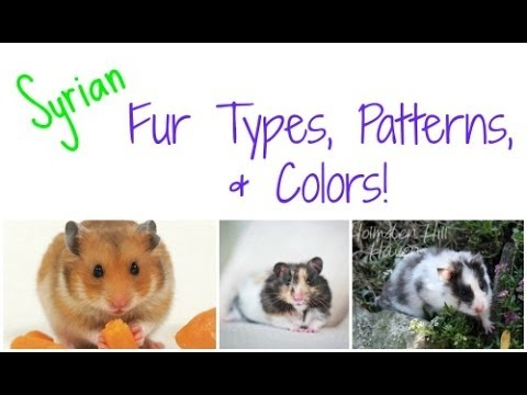 Long Haired Hamster Colors 60