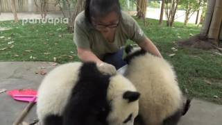 Cute!What did panda do when zookeeper cleaning the leaves
