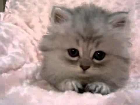Pequeño Gato Persa